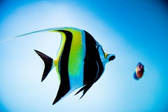 Moorish Idol (julesnene) Tags: california travel beautiful aquarium ichthyology graceful reefs saltwater
