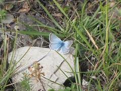 farfalla su calcare