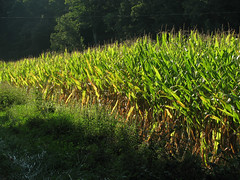 Maturing Corn (dok1) Tags: corn dok1 ohiofoothills pikeohio