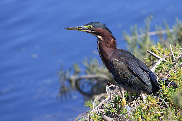 090909_greenHeron04_sm