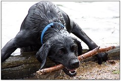 Harder Climbing Out..... (Donna JW) Tags: dog pet lake water blacklab labradorretriever stick picnik bigmomma 15challengeswinner herowinner pregamewinner pregamesweepwinner theduelpregamesweepwinnersonly pregameduelwinner