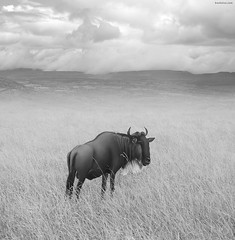 Once Upon a Time in Kenya - 4 - (Ben Heine) Tags: voyage africa blackandwhite bw nature clouds race bush buffalo alone noiretblanc nikond70 kenya duo horizon smooth horns compo clean safari oxygen exotic harmony neat nuages bison hunt savanah nationalgeographic chasse discover dcouverte afrique wildanimals faraway buissons cornes savane travelog troupeau exotism pturage brouter animalsauvage benheine hubzay saariysqualitypictures flickrunitedaward