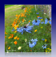 Summer border flowers (sandra.harris10) Tags: nigella californiapoppies loveinamist abigfave vosplusbellesphotos