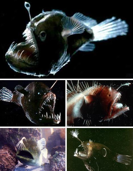 08_anglerfish