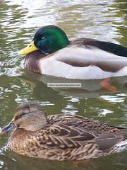 image_117 (morphotography) Tags: lake duck pond albanyny
