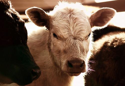 mad calf