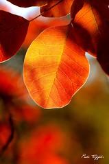 (paolo-55) Tags: nikon autunno controluce carso d300 cotinuscoggygria sommaco scotano 105mmvrmicronikkor carsogoriziano