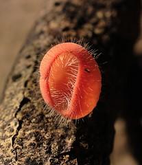 Hongo Naranja Peludo