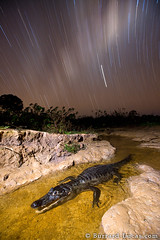 Caiman Star Trails (Burrard-Lucas Wildlife Photography) Tags: longexposure night stars crocodile caiman