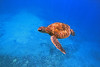turtle in the blue by bluewavechris