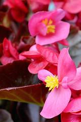 Pink Begonia (Pampara  back!!) Tags: pink flowers flower nature up yellow close rosa natura giallo begonia fiori fiore mygearandme mygearandmepremium mygearandmebronze