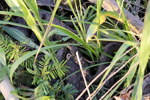 Snakes Cuddling 2