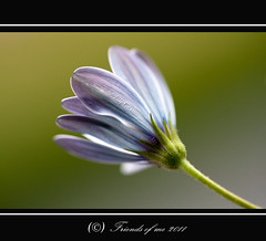 spanish daisy goes asleep (drbob97) Tags: from lighting new blue friends light white flower macro netherlands dutch canon flickr utrecht blauw view you photos or awesome nederland sharp goes everyone asleep wit razor paars bloem drbob spaanse stuifmeel utreg isusm 40d magriet purole friendsofme lserie lens100mm bestcapturesaoi lichtt mygearandme mygearandmepremium mygearandmebronze mygearandmesilver mygearandmegold mygearandmeplatinum drbob97