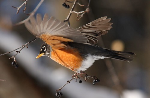 Robin with Wings Outstretched