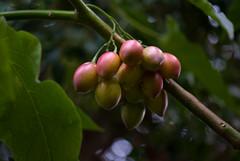 Cyphomandra betacea (Solanaceae) (-- Green Light Images --) Tags: solanaceae rbge solanales dsc1635