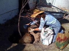 Apricot Tree Transplant