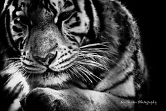 Black & White...White tiger... (Ian Cuison Photography) Tags: cats animal cat geotagged zoo photo interestingness flickr explore exotic bigcat photograph breeding whitetiger seoulgrandpark exoticcat crossbreeding canon40d flickrbigcats iancuison