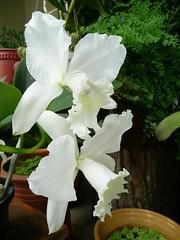 Flowers From My Garden #85 (ighosts) Tags: flowers white house plant orchid flower garden malaysia blueribbonwinner goldstaraward anuniverseofflowers wcattelya