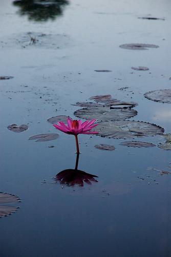 flower in a pond