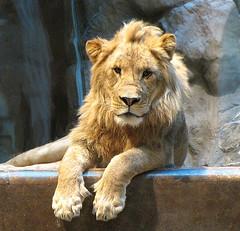 Lion Portrait: MGM Grand Lion Habitat, Las Vegas Nevada