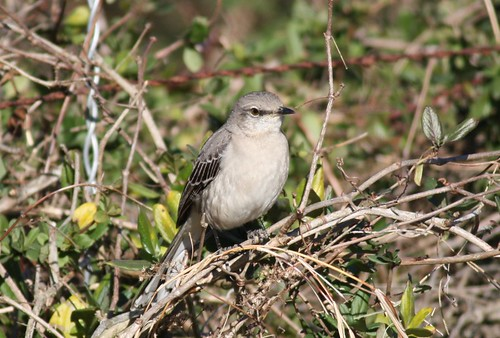 Northern Mockingbird - 1/20/2009