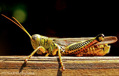 NIGHT LIFE (PHOTOGRAPHY|bydamanti) Tags: insects bugs harmony grasshopper naturesbest bestofthebest animalcloseups diamondstars dragongoldaward qualitypixels allkindsofmacroscloseups dragondaggerawards zuzkasfaves