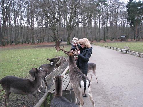 13-Harém de renas anãs, com o macho à frente