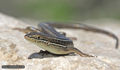 Banded Skink (Trachylepis vittata) חומט פסים