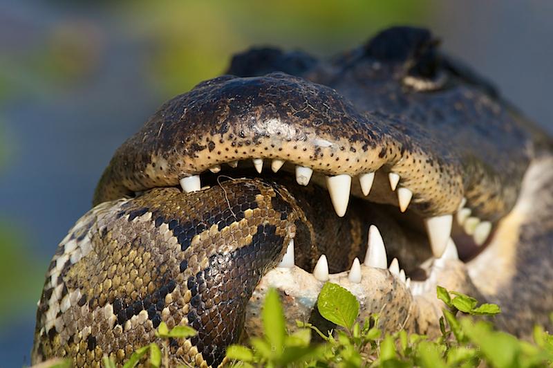 snake explodes after eating alligator - 541.7KB