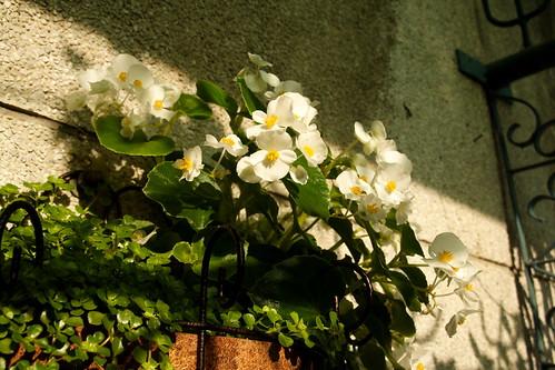 白色秋海棠