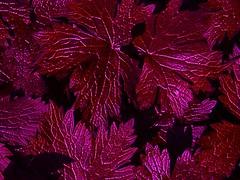 Red Leaves (Mazcats1) Tags: uk red england colour art english leaves closeup leaf artistic mashup digitalart hampshire colourful psychedelic visual upclose eastleigh mashups visualmashup mazart visualmashups struckbyrainbow