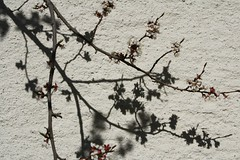 Jaapani maaling (anuwintschalek) Tags: sunlight macro tree salzburg closeup garden austria spring warm shadows blossoms april apricot oma 28135is puu sonne schatten garten 2009 soe baum frhling aed blten pike kevad aprikose vanaema marille varjud ied aprikoos canoneos1000d