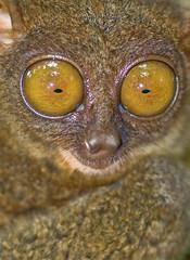 Boo! (Flipped Out) Tags: philippines bohol tarsier tarsiussyrichta lobocbohol