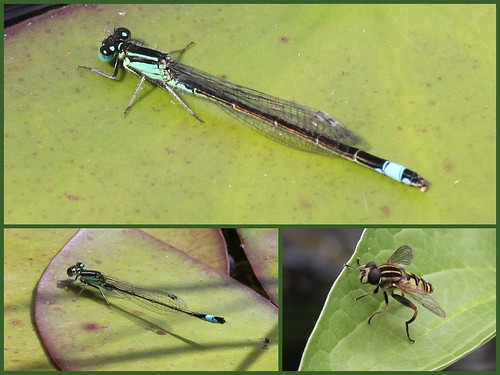Damselfly and Hoverfly