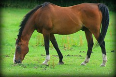 Freedom for the Stallion.... (thingamijig) Tags: horse brown beauty equine eatinggrass canon400d explore~140709~
