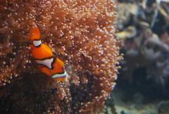nemo! (yumyumbubblegum) Tags: ocean life uk sea england orange white black london coral swim aquarium nemo small dive disney clownfish fin reef habitat gill