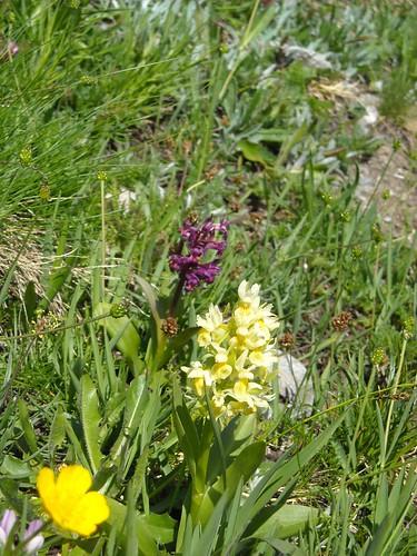 Elder Orchids (Orchis sambucina)