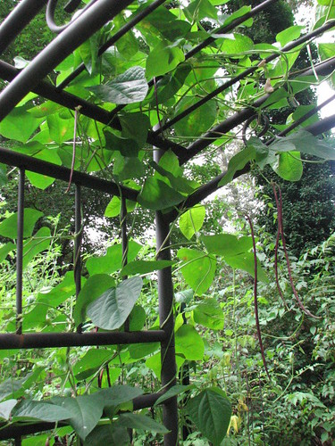 Heat-loving yardlong beans are a quick and tasty cover for a garden archway.
