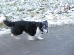 dog running (maddog04666) Tags: dog snow blur grass tarmac wales collie shot action running cwmmawr