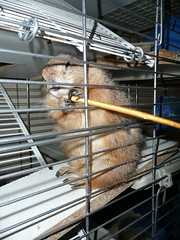 Sra is eating a salted stick (Nazgul03) Tags: prairiedog sra psoun