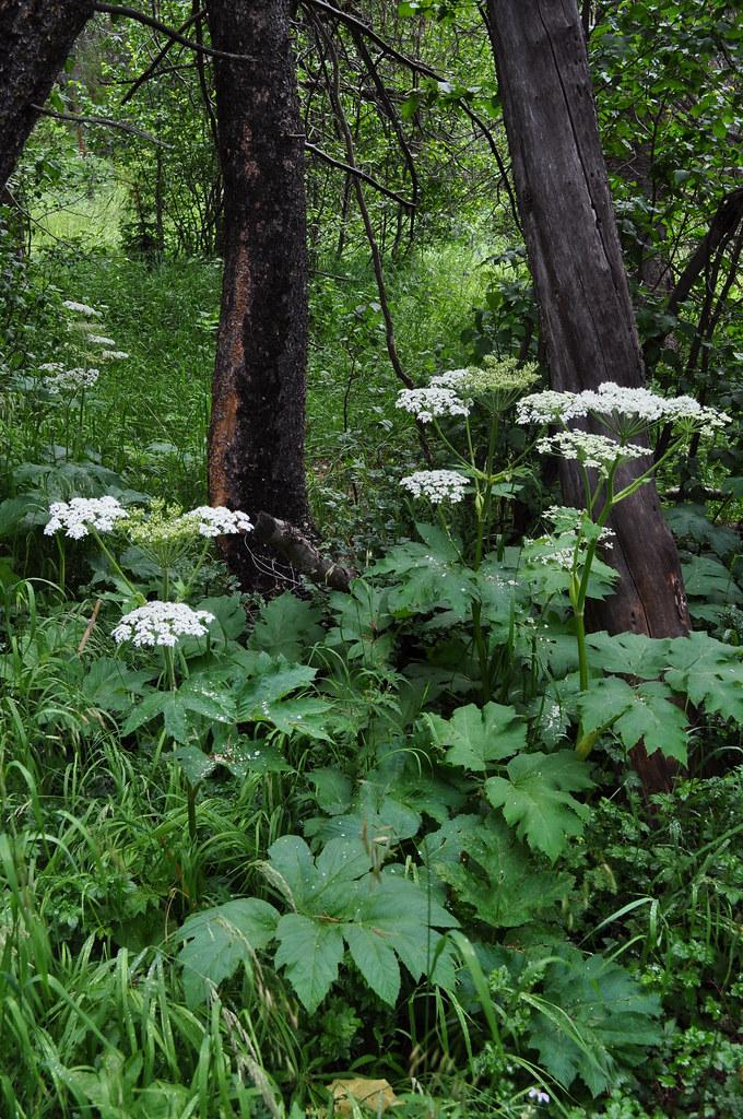 Heracleum lanatum - Cow parsnip 1