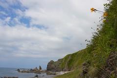エゾカンゾウが咲く海岸