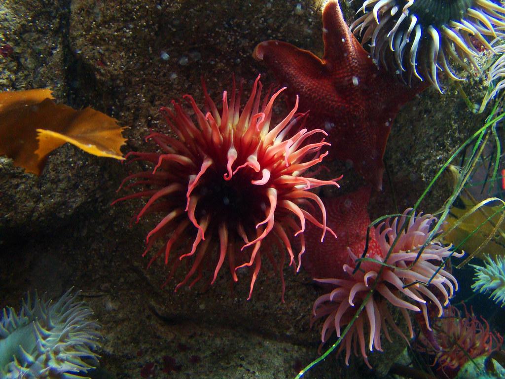 DSC01967 Monterey Bay Aquarium anemone