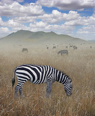 Once Upon a Time in Kenya - 1 - (Ben Heine) Tags: voyage africa morning travel wild wallpaper favorite food mist mountain art texture field grass misty fog clouds print poster dawn freedom 3d kenya horizon hill flock group meadow peaceful compo nikond70s safari oxygen eat libert zebra species savannah nuages copyrights herd depth digitalphoto nourriture brouillard extinction bandes colline sfumato volume nationalgeographic matin bigfive wildanimals highres sauvage profondeur zbre paisible troupeau pturage rservenaturelle brouter benheine hubertlebizay hubzay onceuponatimeinkenya infotheartisterycom