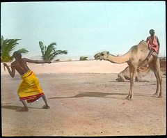 Camel breaking (The Field Museum Library) Tags: africa expedition camel mammals somalia zoology 1896 carlakeley specimencollection dgelliot