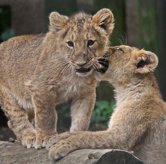 London's Little Lions (Gary's Photos. 2.72 Million views) Tags: england london nature animal canon asian photography eos zoo cub photo foto britain wildlife lion bigcat lioncub londonzoo 50d asianlion garywilson 70300do platinumheartaward