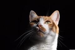 P1020056 (Benoit Rossignol) Tags: pet pets animal animals cat chat key noir low panasonic gato contraste g1 bestofcats