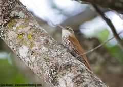 Wagler's Woodcreeper_Lepidocolaptes wagleri