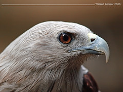 Great eye (Waleed Almotar) Tags: eye ed great olympus falcon e3 50200mm zuiko waleed swd almotar