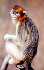 Golden monkey (floridapfe) Tags: nature animal zoo monkey nikon korea ape  goldenmonkey naturesfinest impressedbeauty aplusphoto